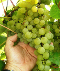 uvas-denominacion-orixe-galicia
